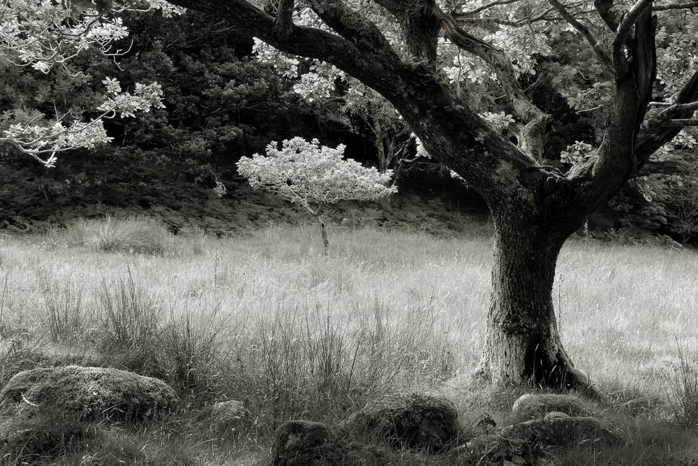 Oak Trees & Meadow, Wales, 2013